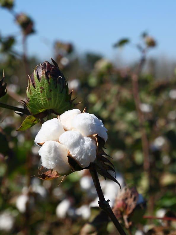 Close up of a cotton plant