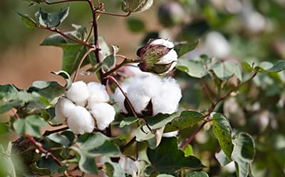 A Better Cotton farmer stands in a cotton field